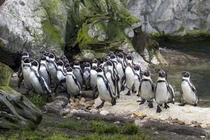 equipe de pinguins africanos foto