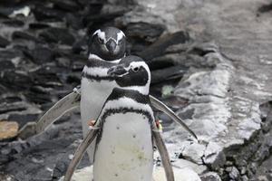 casal de pinguins de magalhães foto