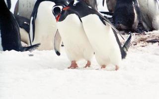 colônia de pingüins gentoo na península antártica foto