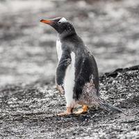 pinguins na Antártica foto