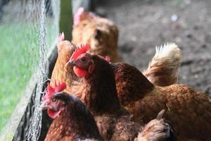 galinhas de caneta de galinha foto