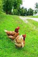 galinhas de fazenda vermelho foto