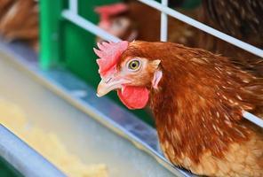 galinha vermelha foto