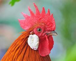 cabeça de frango foto