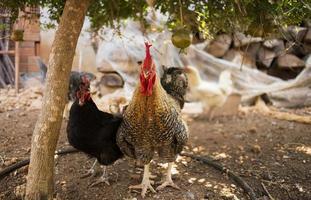 galo e galinhas no quintal da fazenda foto