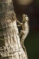 lagarto de jardim oriental em pottuvil, sri lanka foto