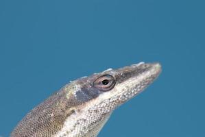 anole verde americano-camaleão foto