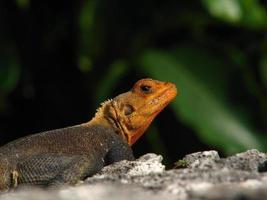 lagarto colorido foto