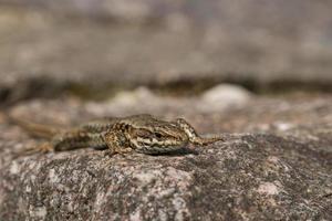 lagarto vivíparo foto