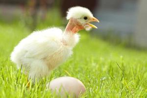 galinha da páscoa e grama de ovo foto