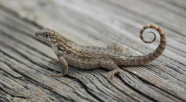 lagarto de cauda encaracolado foto