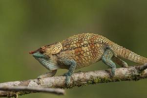 camaleão da floresta tropical foto