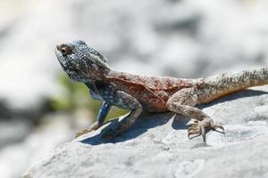 lagarto de agamá de cabeça azul foto