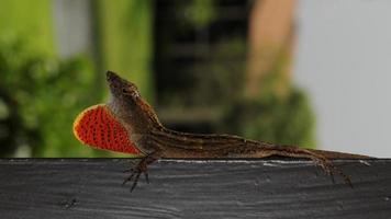 lagarto marrom masculino foto