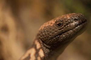 cabeça de lagarto
