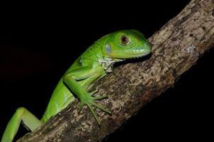 lagarto da iguana guatemalteca foto