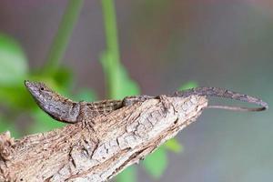 lagarto de cerca oriental foto