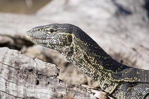 lagarto monitor do nilo (varanus niloticus) foto