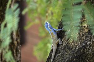 lagarto azul foto