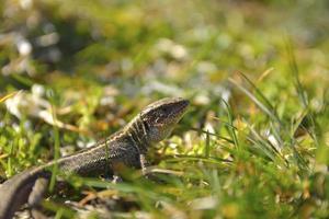 lagarto comum, lacerta vivipara foto