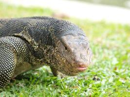 closeup de lagarto monitor foto