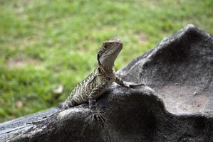 dragão de água australiano foto