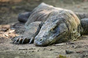 dragão de komodo ou varanus komodoensis