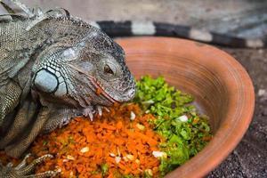 iguana comendo foto