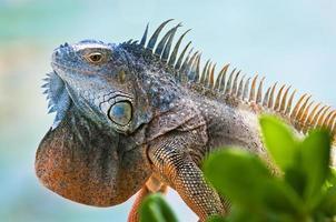 iguana com ventilador colorido na garganta