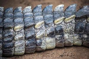 textura de pele de crocodilo foto