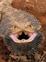 dragão barbudo com raiva