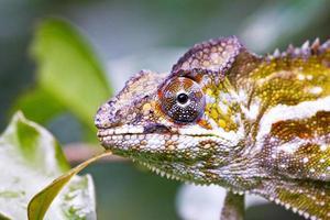 belo camaleão colorido, lagarto cameleon em madagascar foto