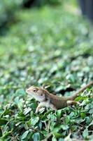 lagarto tailandês marrom na árvore foto
