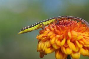lagarto em uma flor de laranjeira foto