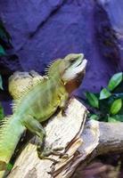 subida de iguana no galho de árvore