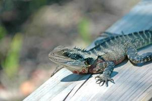 lagarto de dragão oriental, isolado, austrália foto