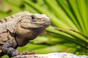 iguana mexicana foto