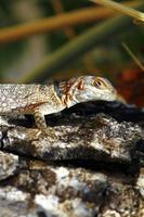 lagarto de cauda espinhosa ou colarinho (madagascar) (oplurus cuvieri) em foto