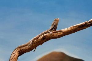 lagarto dragão frilled foto