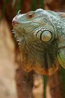 perfil de iguana verde foto