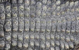 pele de crocodilo como plano de fundo foto