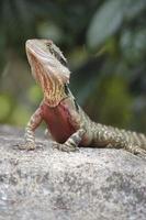 lagarto de dragão de água oriental foto