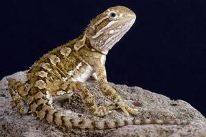 dragão barbudo anão (pogonoa henrylawsoni) foto