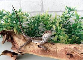 dragão barbudo bebê foto