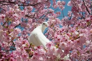 pomba e flores de cerejeira foto