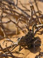 camaleão namaqua foto