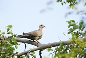 bela pomba empoleirada em uma árvore foto