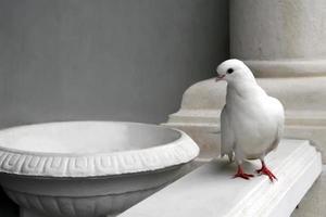 pombo branco foto