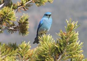pássaro azul da montanha em pinheiro foto