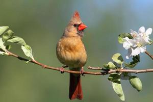 cardeal do norte feminino (cardinalis) foto